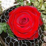 rose-768376_640